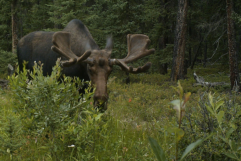Moose on a seismic line