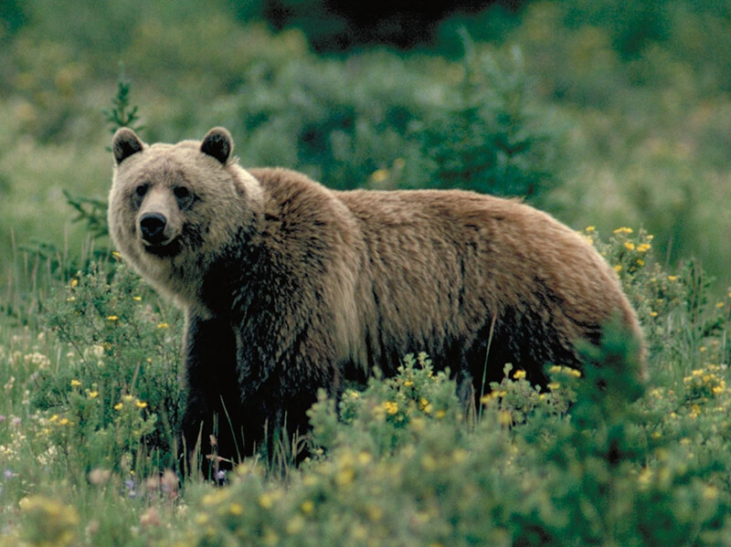 humans impact on grizzly bears essay Free essays case study analysis of panda bear toys which concerns the human resource management grizzly bear lodge case study essay.