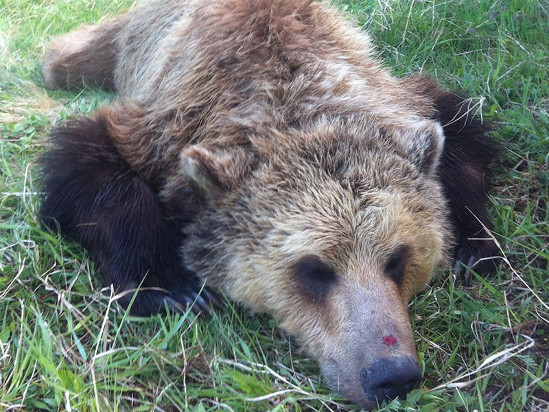 essay example on the grizzly bear Global warming appears to be exacerbating human-caused grizzly bear mortalities grizzly bears are denning later in the fall due to  for example, whitebark.