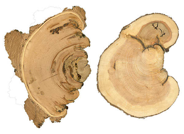 Fire scars on douglas fir (left) and lodgepole pine (right).