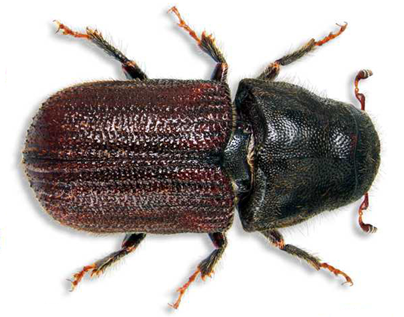 Mountain pine beetle essays