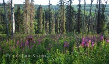 Wildflowers in the boreal forest of west-central Alberta.