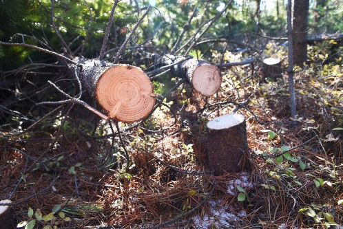 Cut juvenile lodgepole pine trees in a thinned stand.