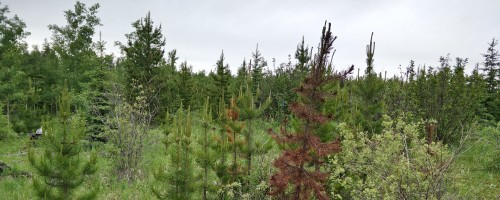 Foothills Pine Project Team