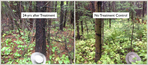 Side by side comparison of two mixedwood forests, one treated 24 years ago with herbicide, the other not.