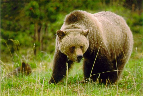 Grizzly Bears and Pipelines: Response to Unique Linear Features