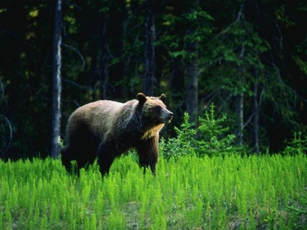 Linkages between forestry practices, ungulate abundance, and the habitat use and performance of grizzly bear in and adjacent to woodland caribou habitat