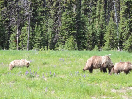 Determining the importance of grizzly bear predation on southern mountain caribou populations