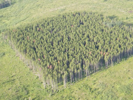Stand dynamics after mountain pine beetle attack