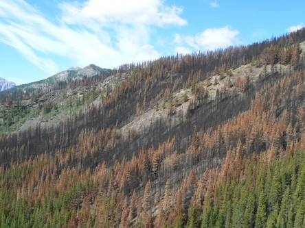 Monitoring and decision support for regeneration management in a mountain pine beetle environment