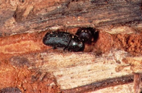 Cold tolerance of mountain pine beetle: Impact on population dynamics and spread in Canada