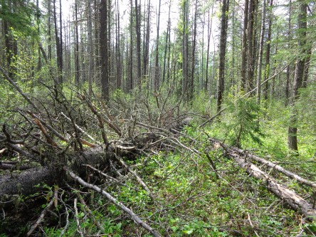 Beyond Beetle: Natural and facilitated lodgepole pine regeneration after mountain pine beetle outbreaks in Alberta