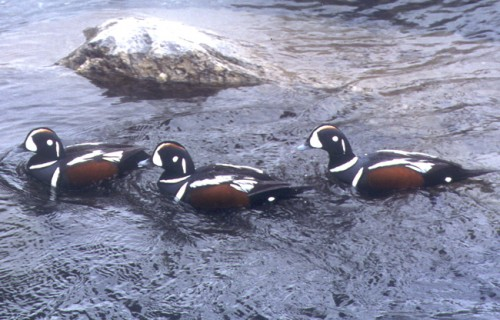 Harlequin Duck Program