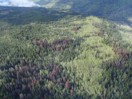 Potential Impacts of Mountain Pine Beetle and Management Actions on Grizzly Bear and Caribou Populations in West-Central Alberta