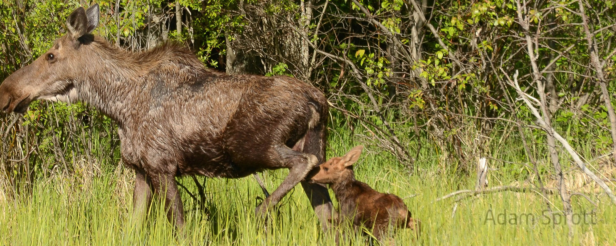 assessing pathogen prevalence and the health of ungulates in west