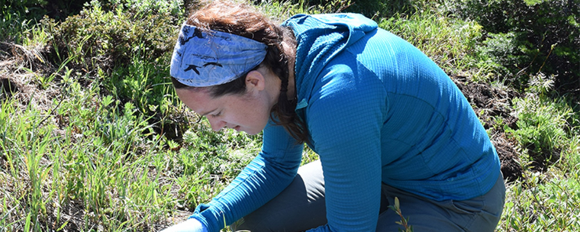 Laura Finnegan collecting tissue samples from a deceased caribou.