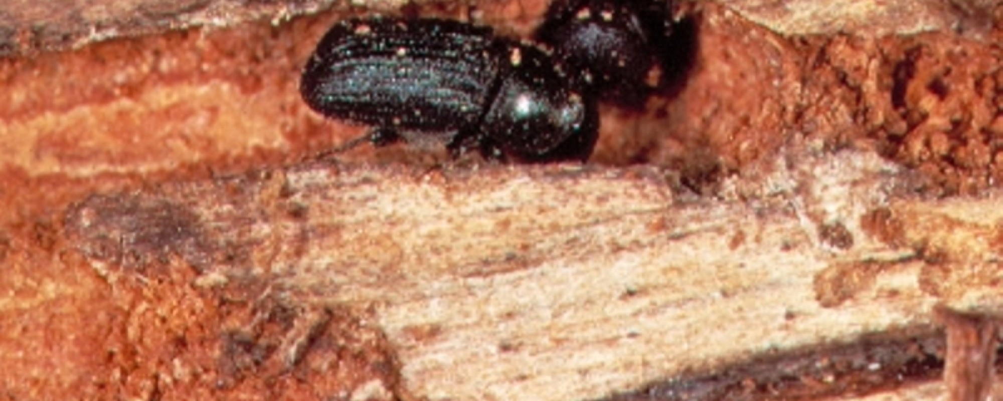 mountain pine beetle essays Find and download essays and research papers on beetle.