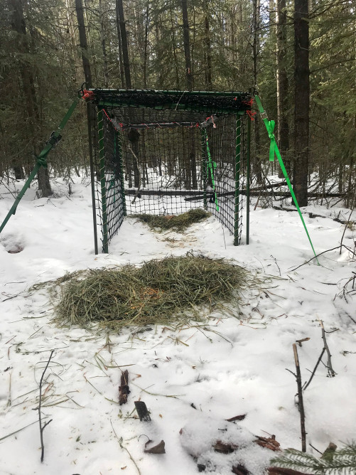 Clover trap with deer bait nearly moved inside. Photo credit: Suzanne Stevenson