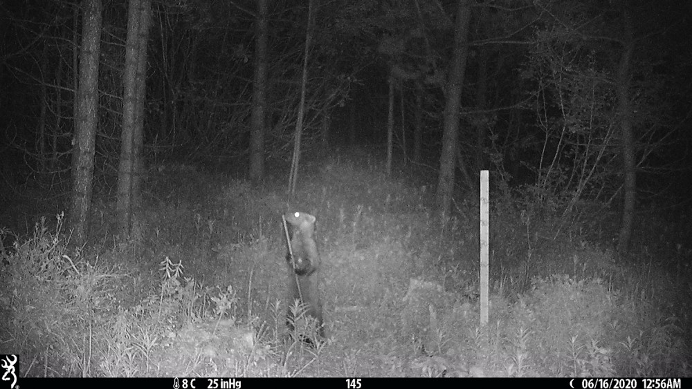 Night photo of a pine martin with a stick