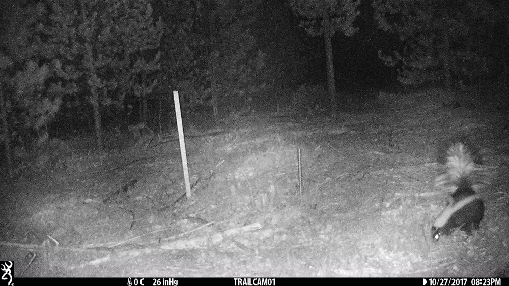 Night photo of a skunk