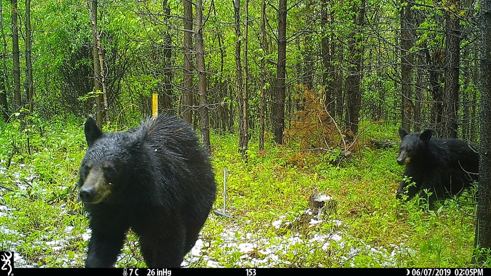 Two black bears in the woods