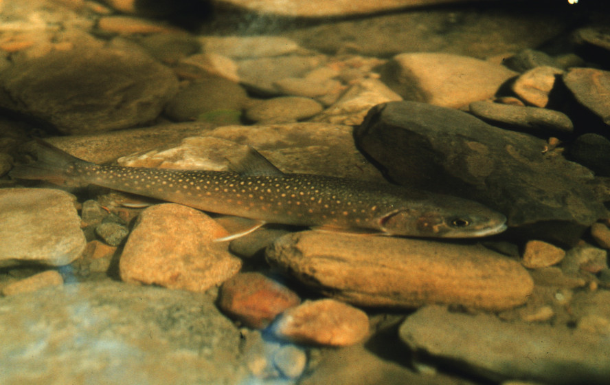 Trout in a streambed.