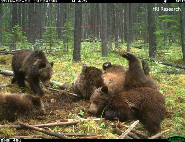 4 bears rolling around at a hair snag site