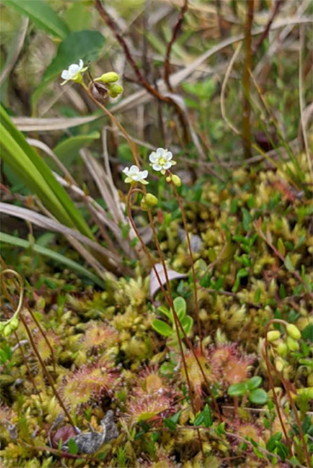 Sundews and other small flowers