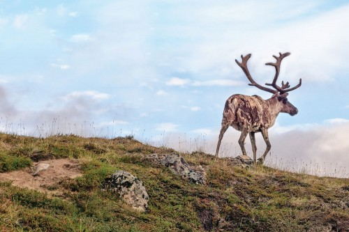Using AVI Data for Caribou Conservation Research