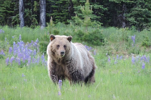 Landscape estimates of carrying capacity for grizzly bears using nutritional energy supply for management and conservation planning