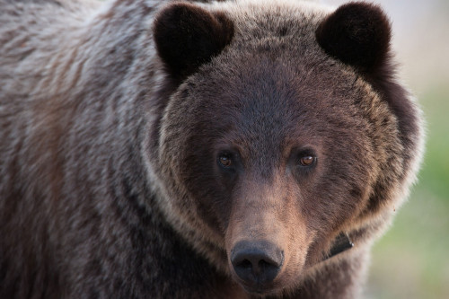 BMA 4 and 7 Grizzly Bear Population Study Summary Materials
