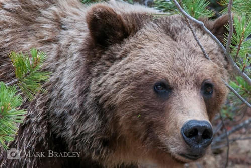 Two decades of science to provide knowledge and planning tools to ensure the long term conservation of grizzly bears in Alberta