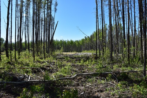 Growth and yield of lodgepole pine stands disturbed by mountain pine beetle in the Lower Foothills of Alberta
