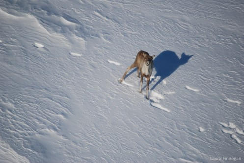 Recovery strategy for Southern Mountain Caribou