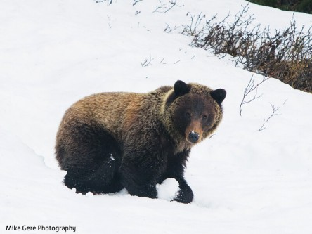 Bears Emerging Early (and Hungry): The Jasper Local