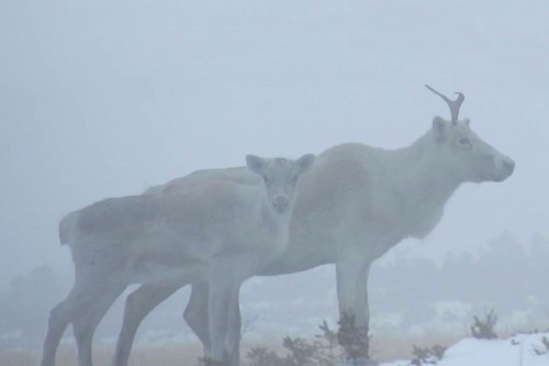 Mother caribou and calf in snowstorm