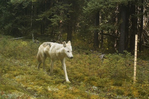 Wolf on a low-veg seismic line