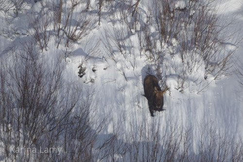 Aerial photo of a moose looking up