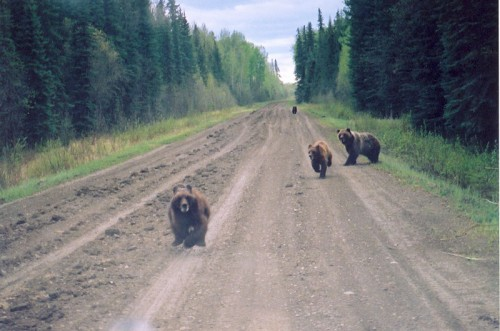 Grizzly Bears on a Road