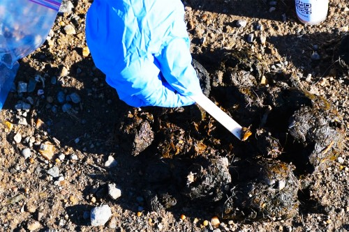Collecting grizzly bear scat using the GBP's sample collection kit.