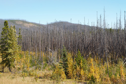 Photo of burned trees in the foothills.