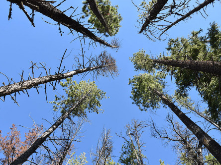 The forest canopy at different stages of MPB attack.