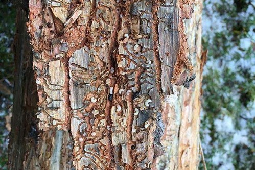 High densities of MPB larvae under the bark of a pine tree. Photo credit: Colleen Fortier.