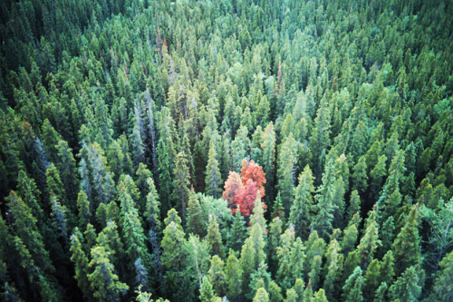 A single red lodgepole pine tree among a forest of healthy trees, seen from above