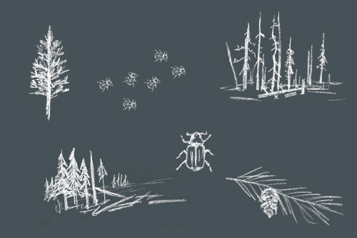 Illustrations of pine trees and mountain pine beetles.