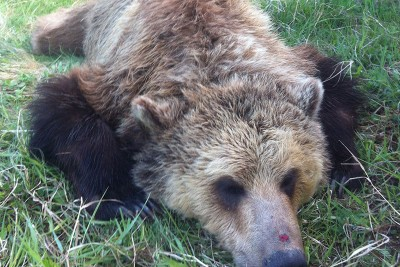 Sedated adult female grizzly bear.